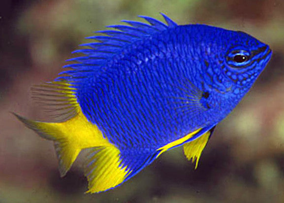 Yellow Tail Damsel (azure)