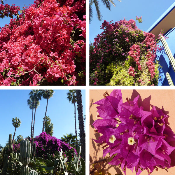 Pink and purple Borgainvillea in Morocco