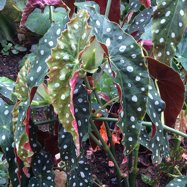 Patterns in Nature - Dotty tropical plant
