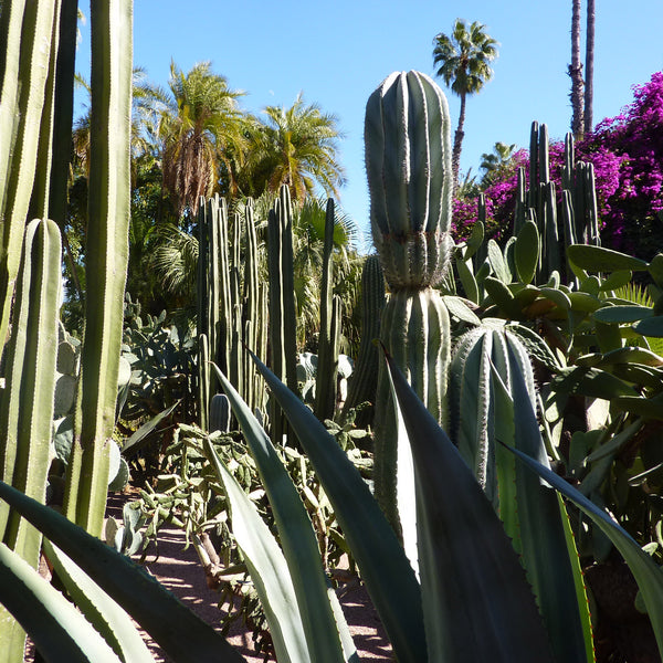 Variety of cacti and palm trees in Marjorelle Gardens