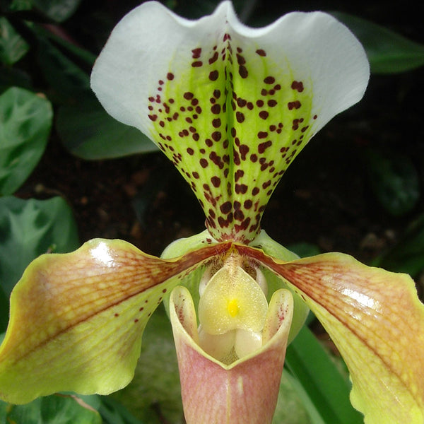 Patterns in Nature - beautiful dotty orchid