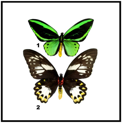 "Acrylic Display Box - Green Birdwing - Pair - 10"" X 10"" - #90010-01"