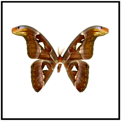"Acrylic Display Box - Atlas Moth - Male - 10"" X 10"" - #90010-04"