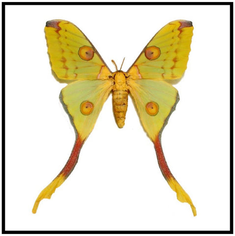 "Acrylic Display Box - Comet Moth - Female - 10"" X 10"" - #90010-05"