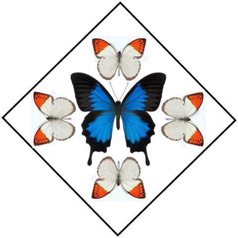 "Acrylic Display Box - Blue Mountain Swallowtail / Orange Tips - Sunburst Design - 10"" X 10"" - #90010-58D"