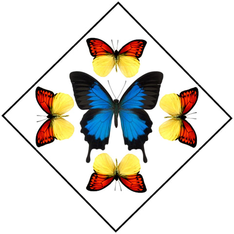 "Acrylic Display Box - Blue Mountain Swallowtail / Vibrant Sulphur - Sunburst Design - 10"" X 10"" - #90010-59D"