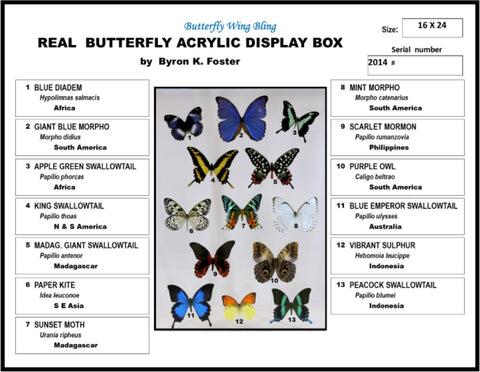 "Acrylic Display Box - 13 Butterflies - 16"" x 24"" - #91624-01"