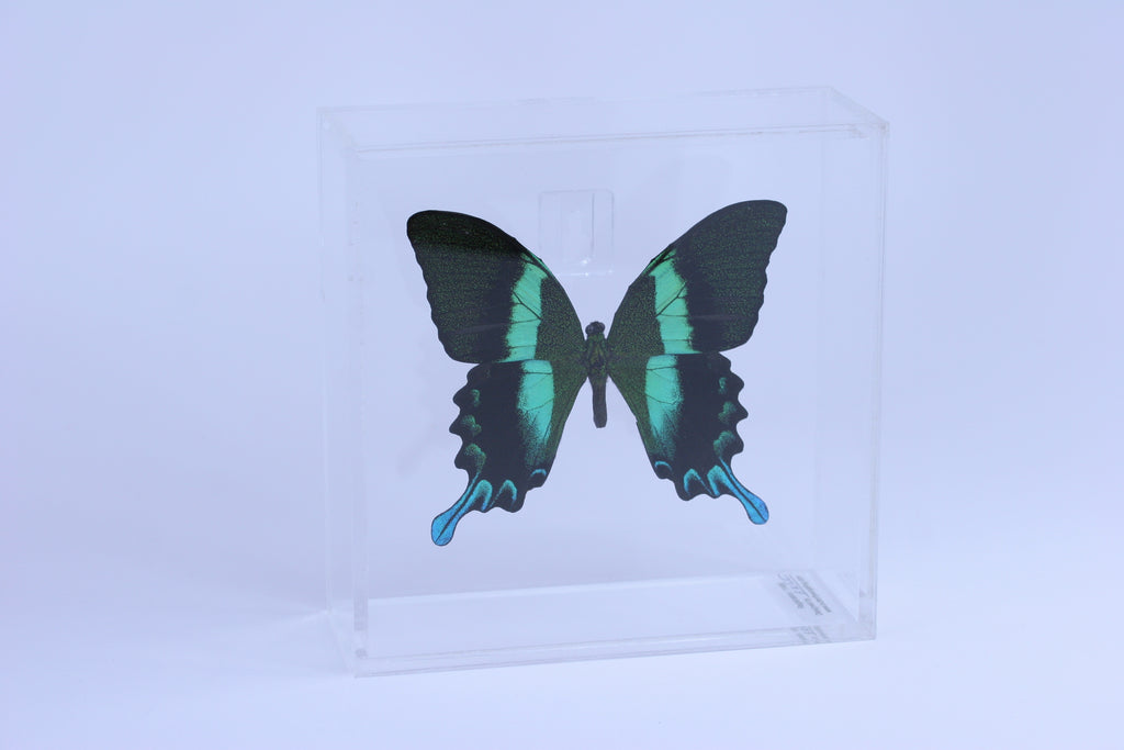 "Acrylic Display Box - 6"" X 6"" - Peacock Swallowtail - #99106-12"