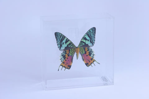 "Acrylic Display Box - 6"" X 6"" - Sunset Moth - Ventral - #99106-2"