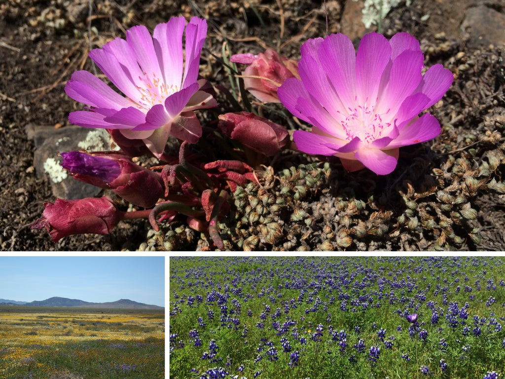 Shopsensibilities art of nature blog post on California's endemic plants
