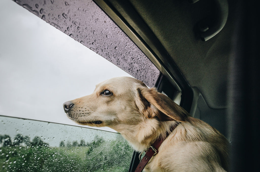 dog with head out of window