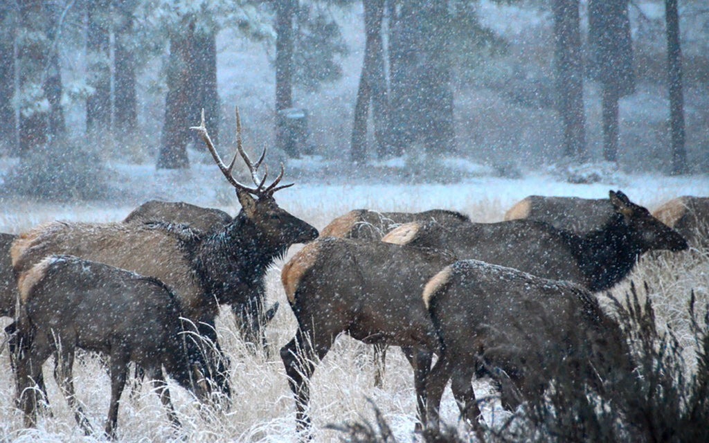 elk snow winter feed