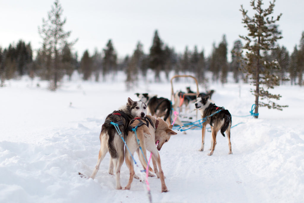 sled dogs winter snow