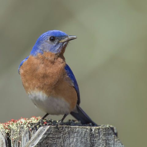 Elementary - Bluebirds at Mary Kahrs Warnell Forest Education Center, Tuesday May 2, 2016 at 1PM