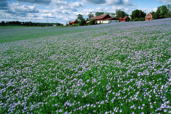 Field of flax seed - The basis for all linseed oil