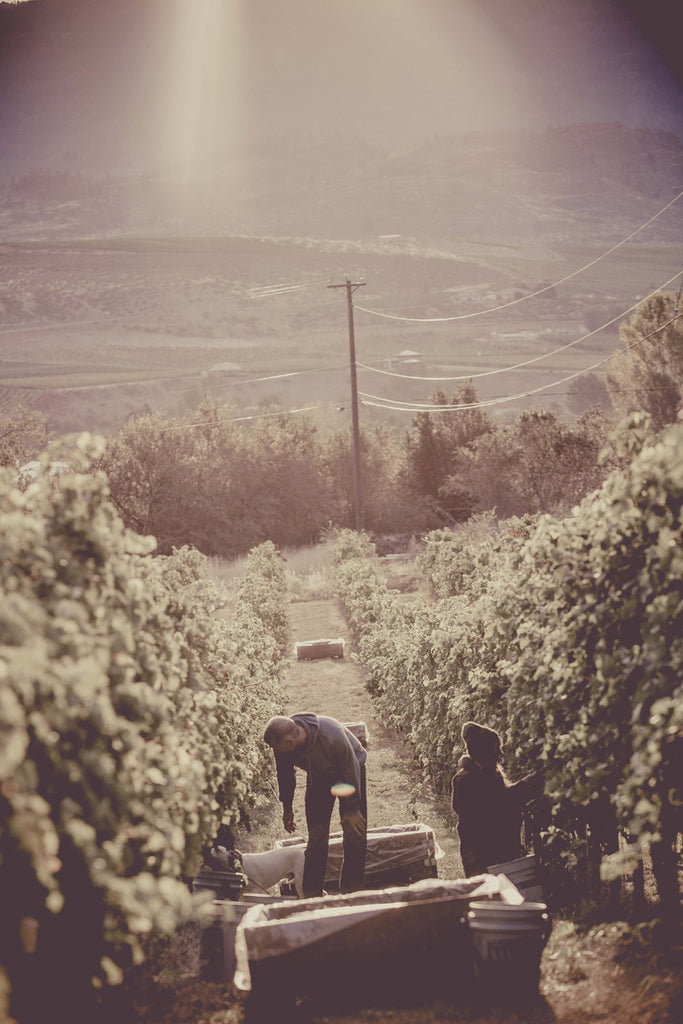 TH Wines Merlot Harvest 2015 on the Golden Mile Bench