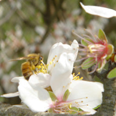Bee pollinating an almond blossom