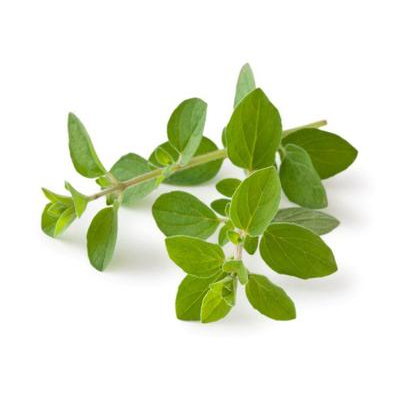 Heirloom Oregano Seed from The Mauro Seed Company
