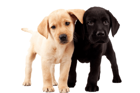 Labrador Puppy Love Nail Art Decals Now 50 More Free Patch Puppy