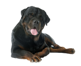 Rottweiler Just Chillin Nail Art (NOW 50% MORE FREE)
