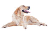 Golden Retriever Happy Dog Nail Art Decals (NOW 50% MORE FREE)