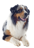 Australian Shepherd Sitting Pretty Nail Art (NOW 50% MORE FREE)