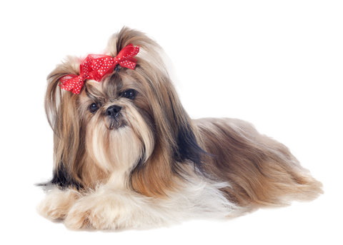 Shih Tzu With Bows Nail Art Now 50 More Free Patch Puppy