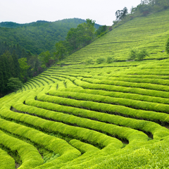 The beauty of Indian Tea Gardens