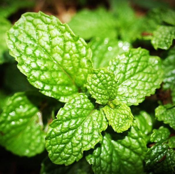 Types of Mint and their benefits
