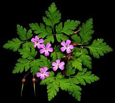 HERB ROBERT- FINE CUT HERB 100G @ $19