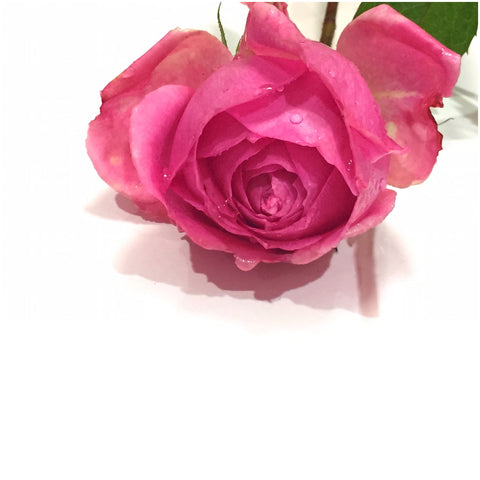 Pink rose. Stop and smell the roses