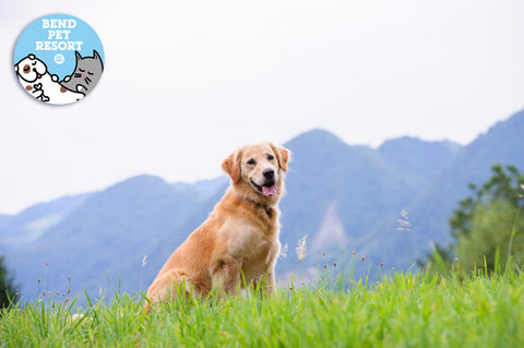 golden retriever on mountain near Bend Pet Resort customized pet care in Bend Oregon
