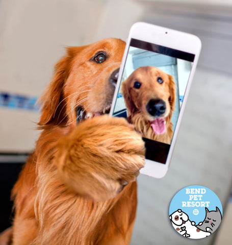golden retriever dog taking an iphone selfie at Bend Pet Resort doggy daycare in Bend Oregon