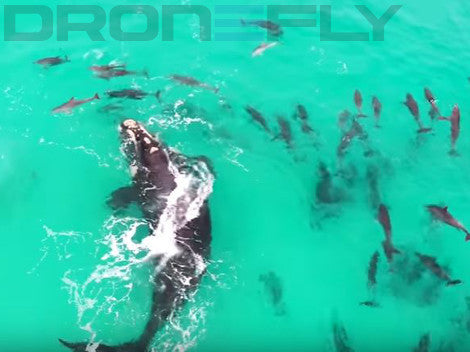 Featured Video: Whale and Dolphins From Above