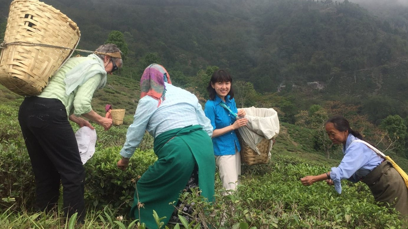 Harvesting Tea at Makaibari