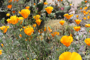 California Poppy & Skullcap Elixir