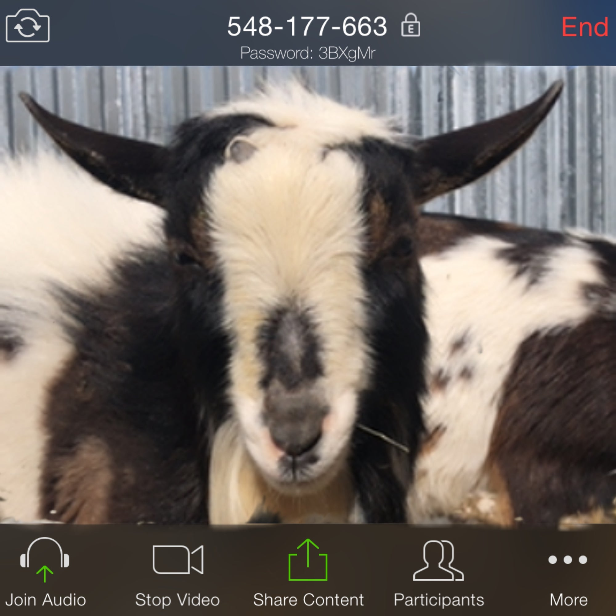 Virtual Goat Video Call