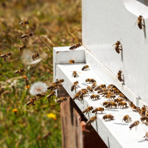 Bees coming and going from beehive