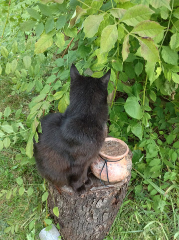 String Bean the cat inspecting a wood-fired pet urn.