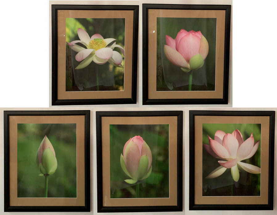 Tulip Blooming Stages Photography, Set of Five, Matted Framed