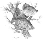 Pencil Art - Black Crappie