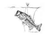 Pencil Art - Under the Lillies Largemouth Bass