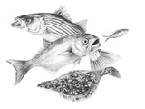 Pencil Art - Striper Bluefish Fluke Slam