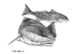 Pencil Art - Redfish