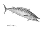Pencil Art - Wahoo