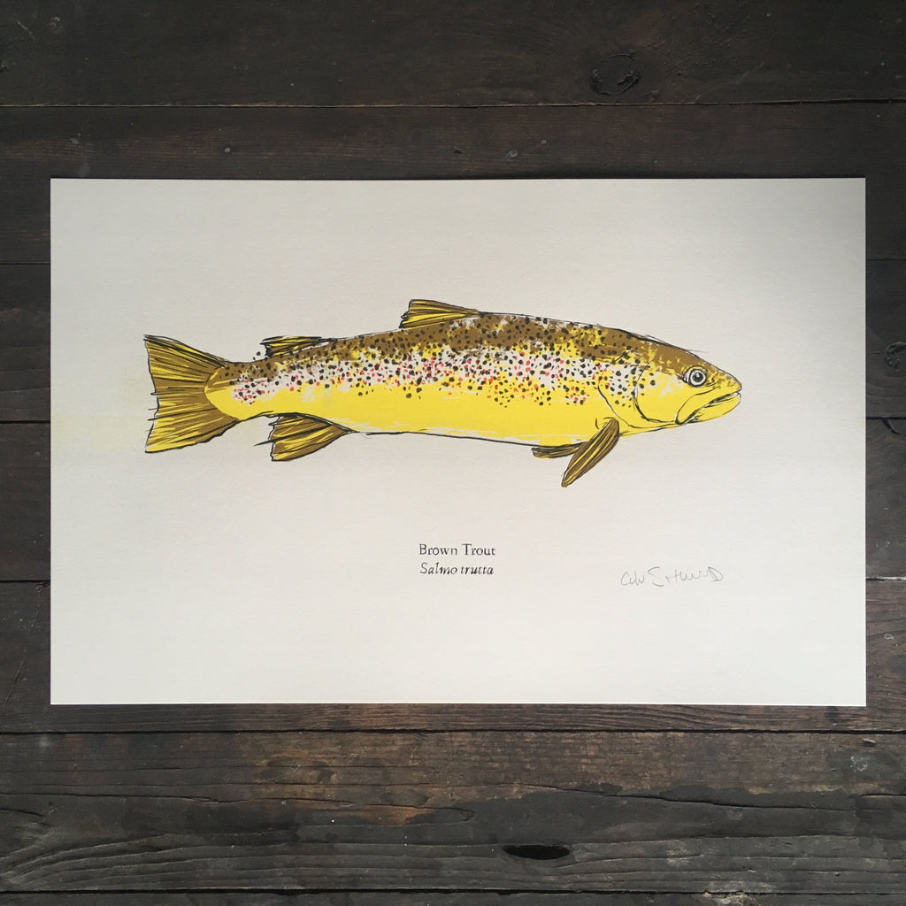 brown trout art print fish risograph