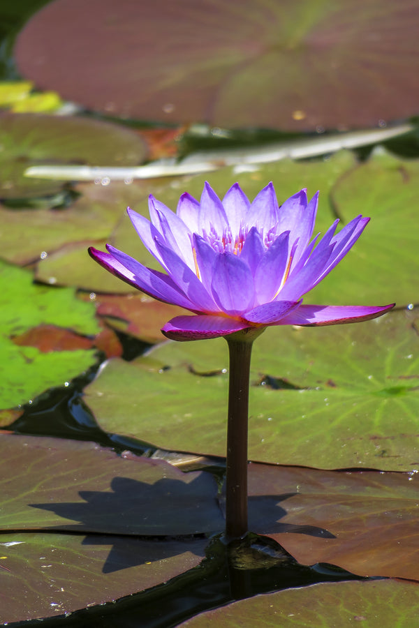 Purple Lotus, California
