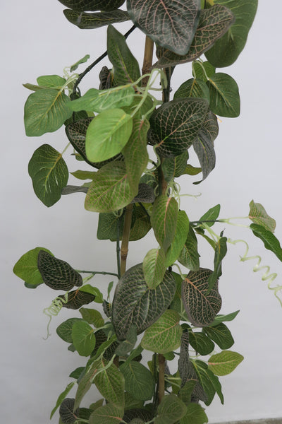 Cp 3 Climbing Plant Creeper Plant Nerve Plant Red Veins