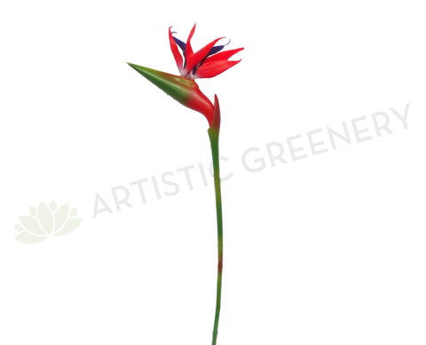 Clearance Stock - Bird of Paradise / Strelitzia 90cm Red