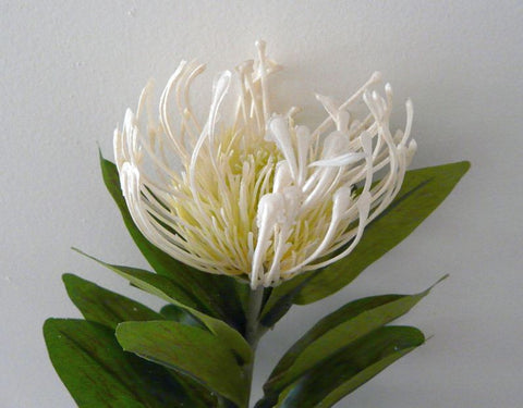 F0067 Protea Pincushion Single Stem 80cm 4 Colours